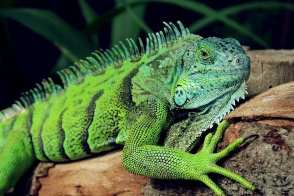 Lizard, reptile, cold-blooded reptiles, green