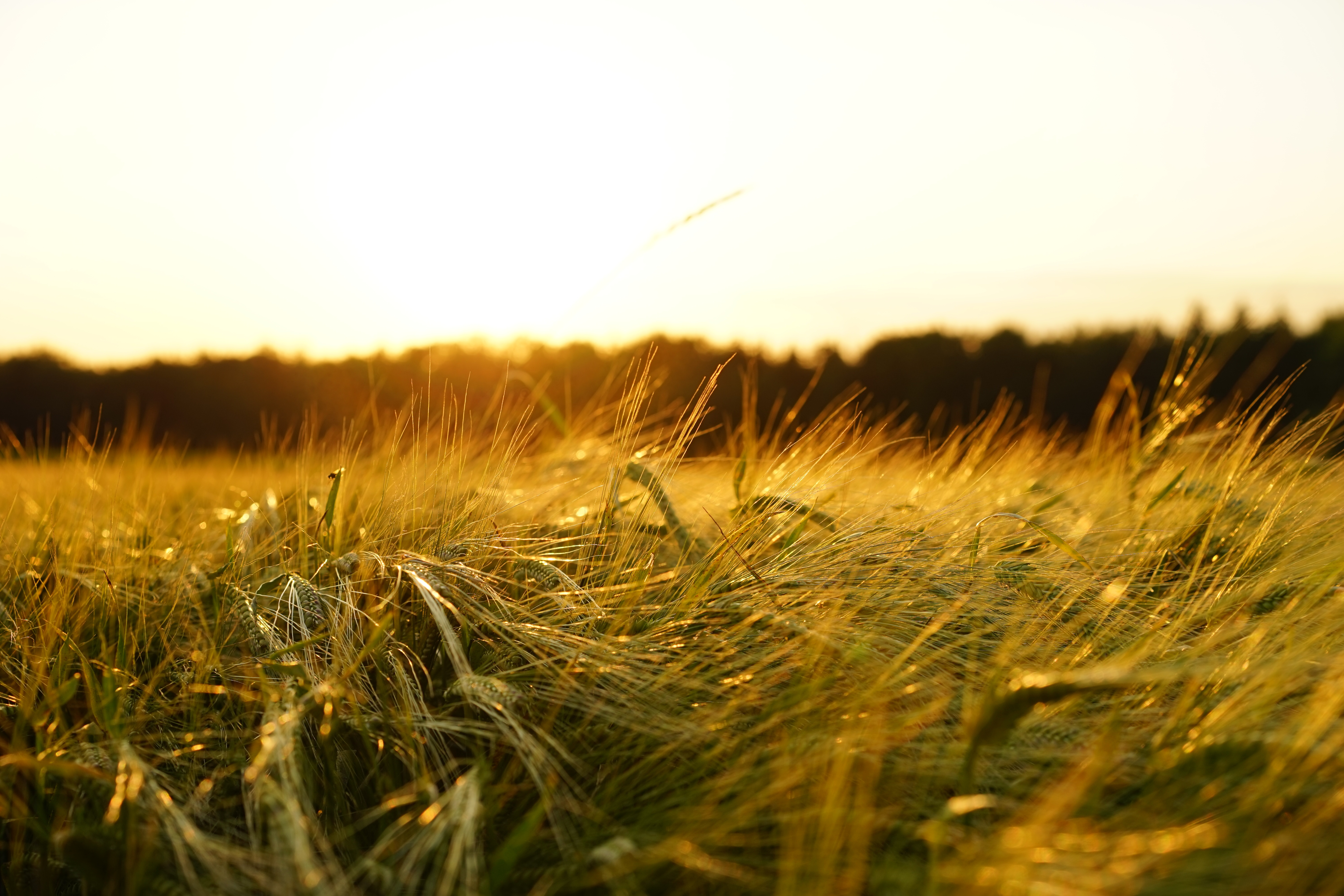 Plant wheat, nature, wheat, field, sun, sunset, freedom, country sunset, green