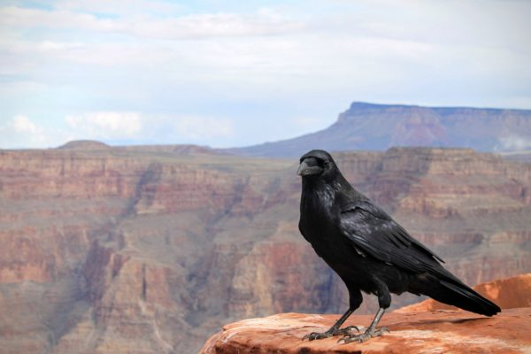 Raven, animals, black, black raven, Bird, canyon, rocks, rock, cliff, feathers, black
