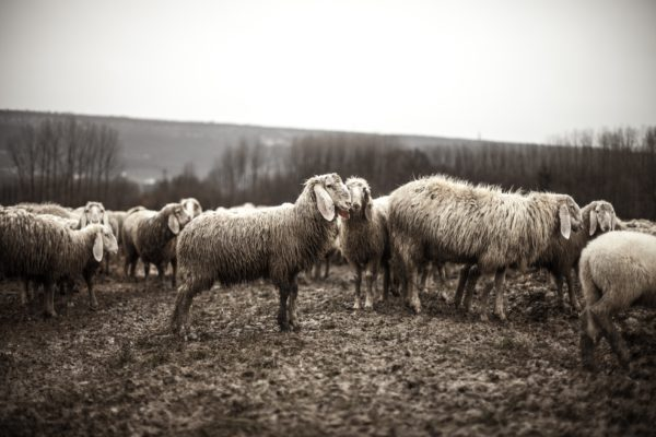Sheep wet, wet, cold, country, countryside, animals, black and white, lambs, sheep