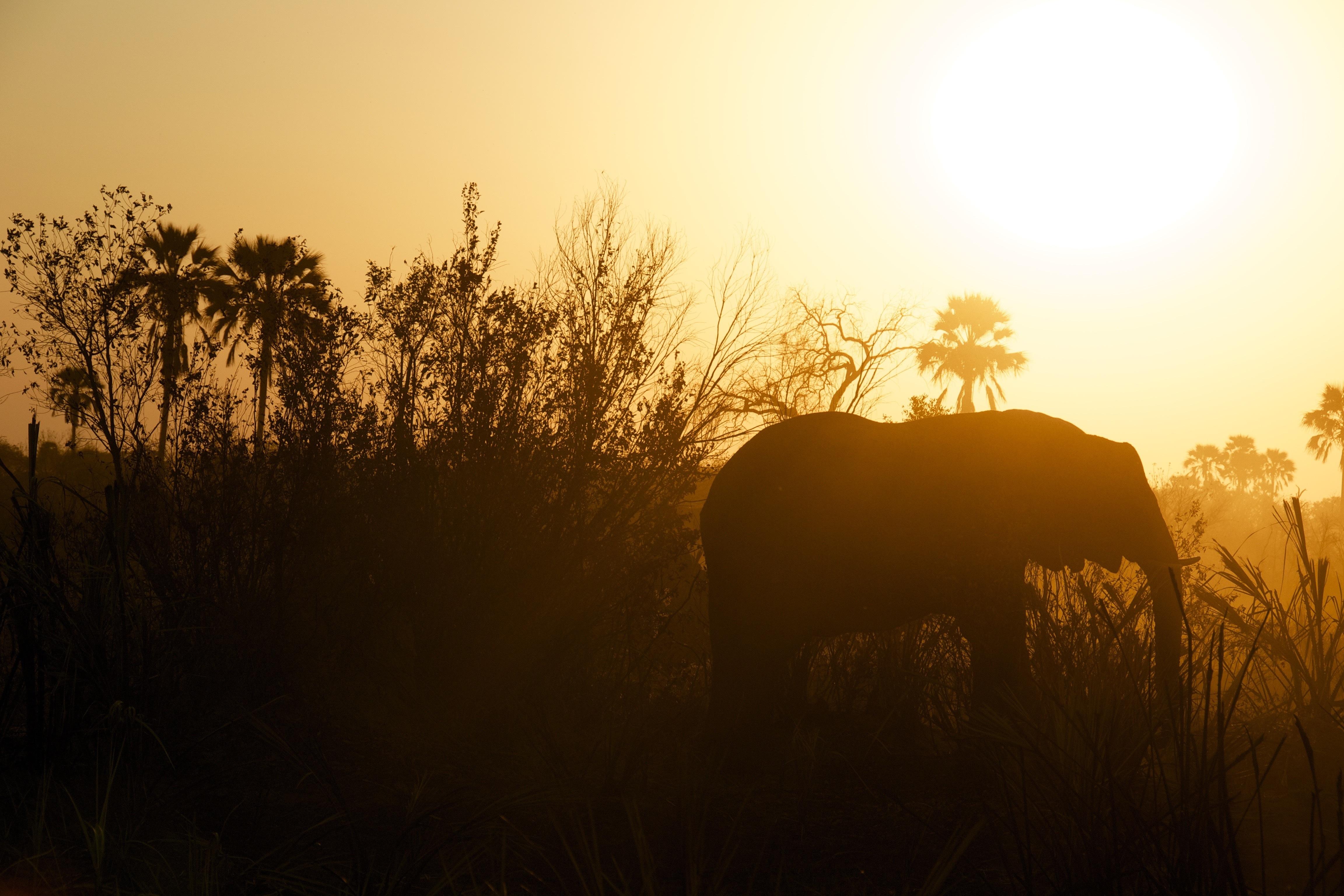 Silhouette of elephant, animals, large, mammals, wild, Africa, sun, sunset