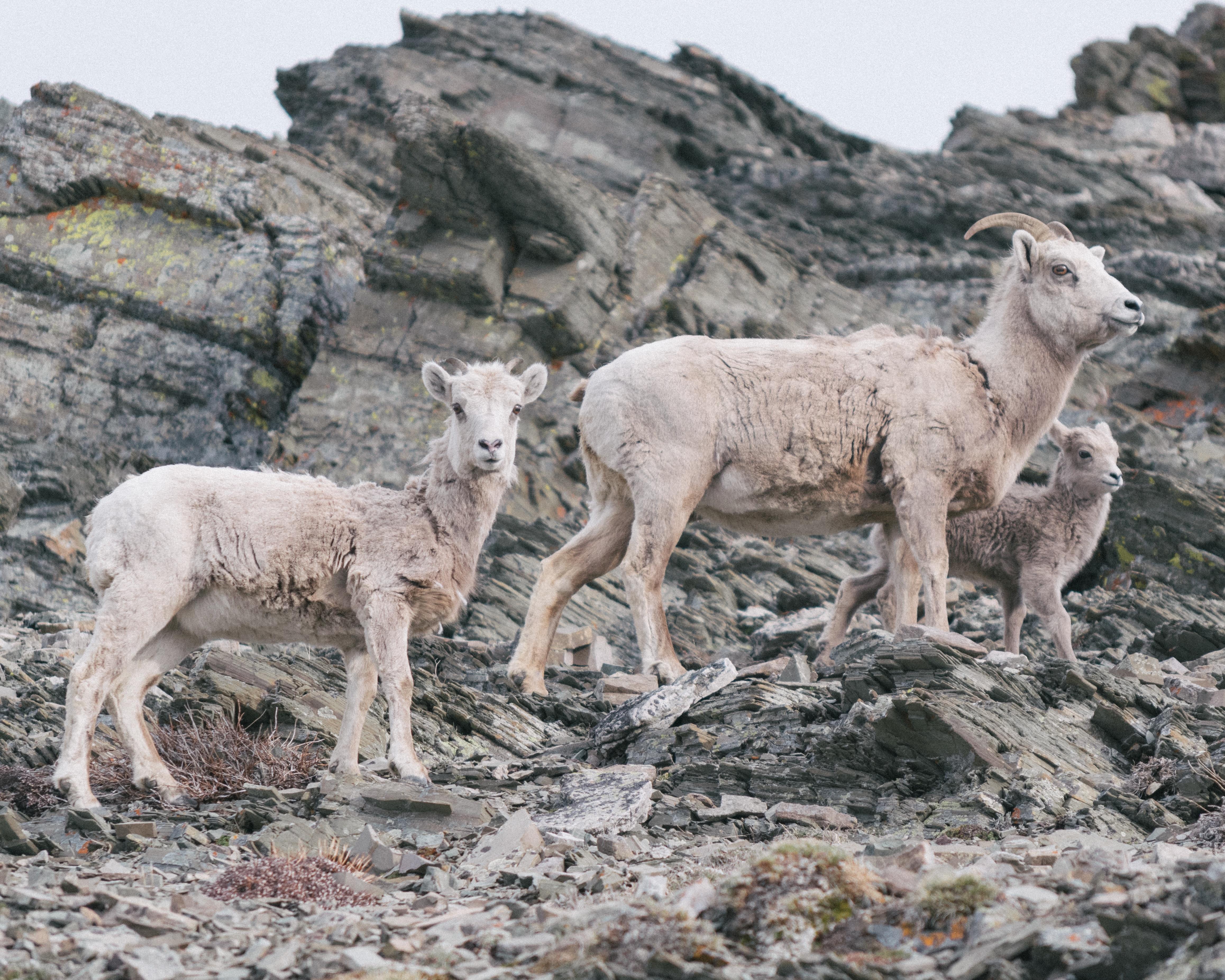 Wild goats, mountains, animals, wild, goats, horns, white, hooves, cliff, cliff, climbing, trapadas