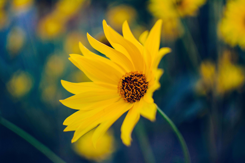 yellow daisy, flowers, yellow flower, petals, yellow