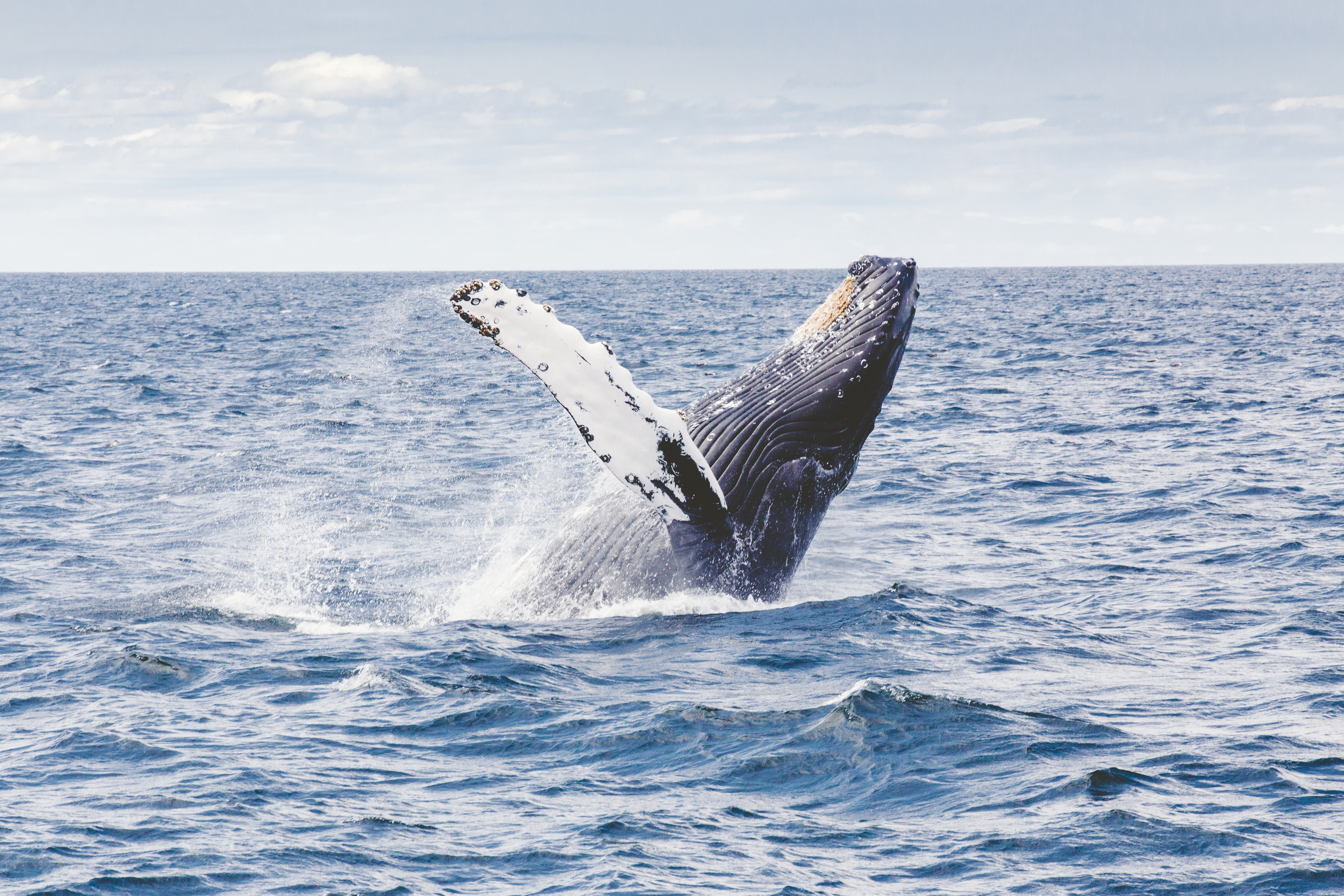 Jumping whale, water, out of the water, whale, animals, big, mammal, sperm whale, ocean, sea, water, outside
