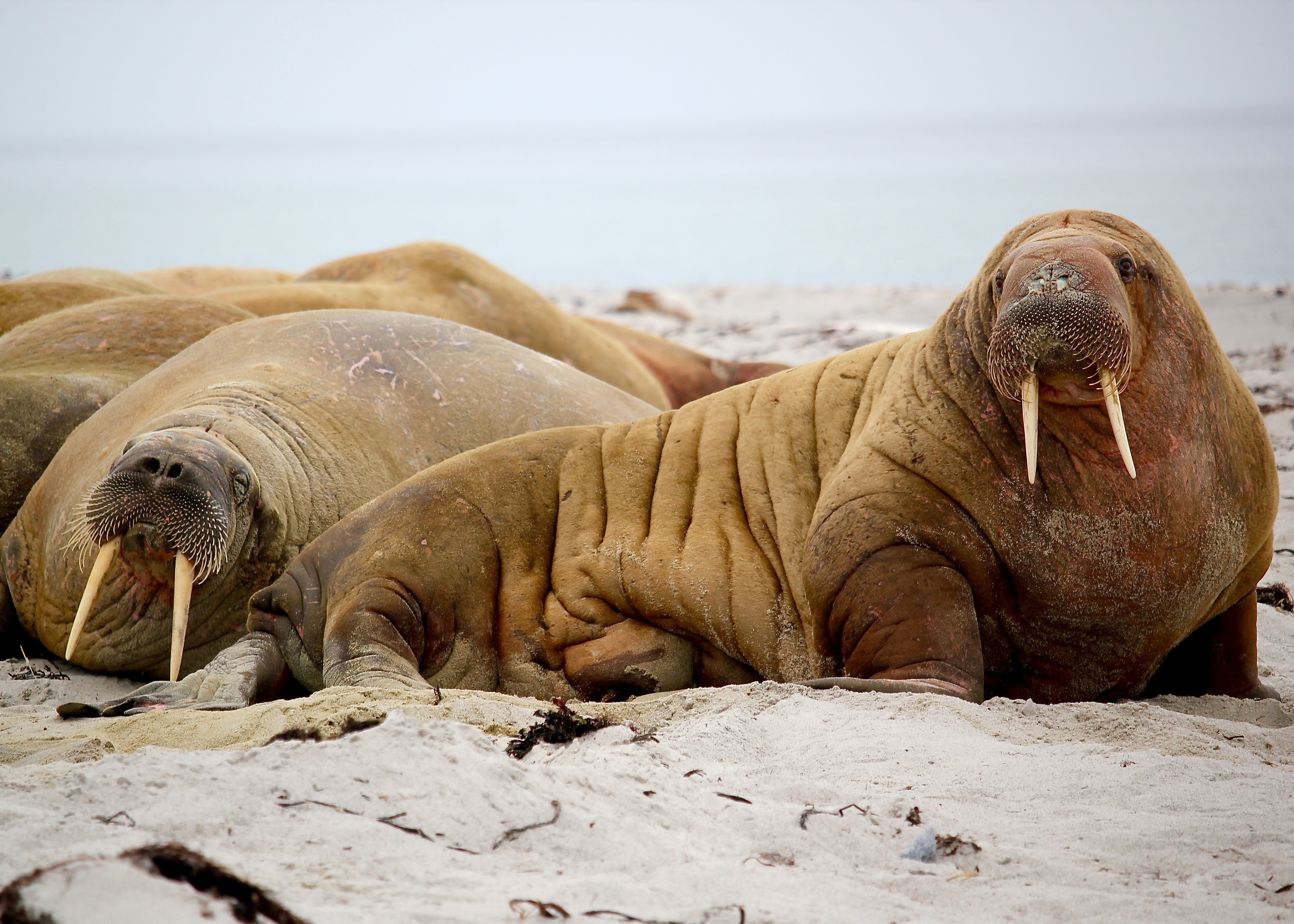Posing walruses, walrus, animals, canines, mammals