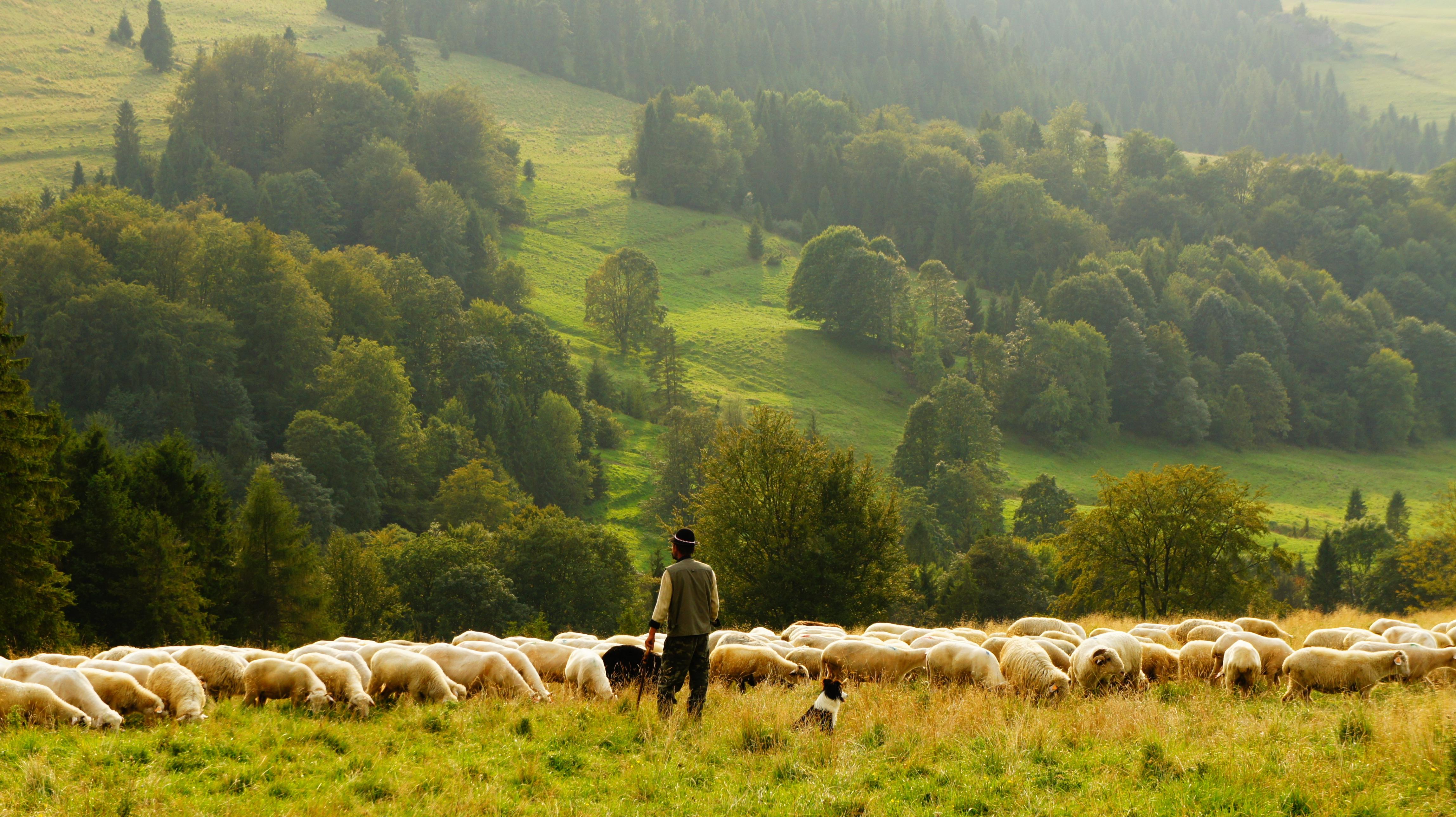 Shepherd, sheep, guide, grazing, mountain, hill, countryside
