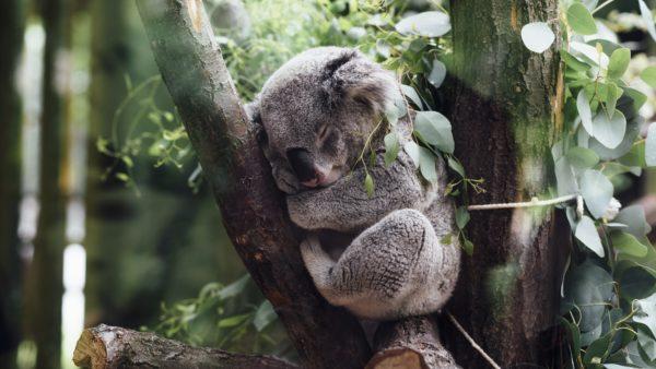 Koala sleeping, koala, tree, climbing, koala sleeping, resting, animals, zoo