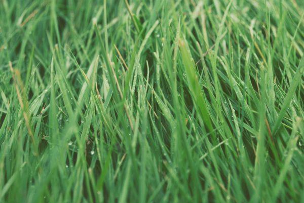 Wet grass, grass, wet, wet, dew, green