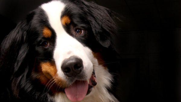 Bernese Mountain Dog Retriever, dog, animals, best friend, but mountain