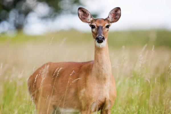 Deer, animals, mammal, quadruped, bambi, animal, nature
