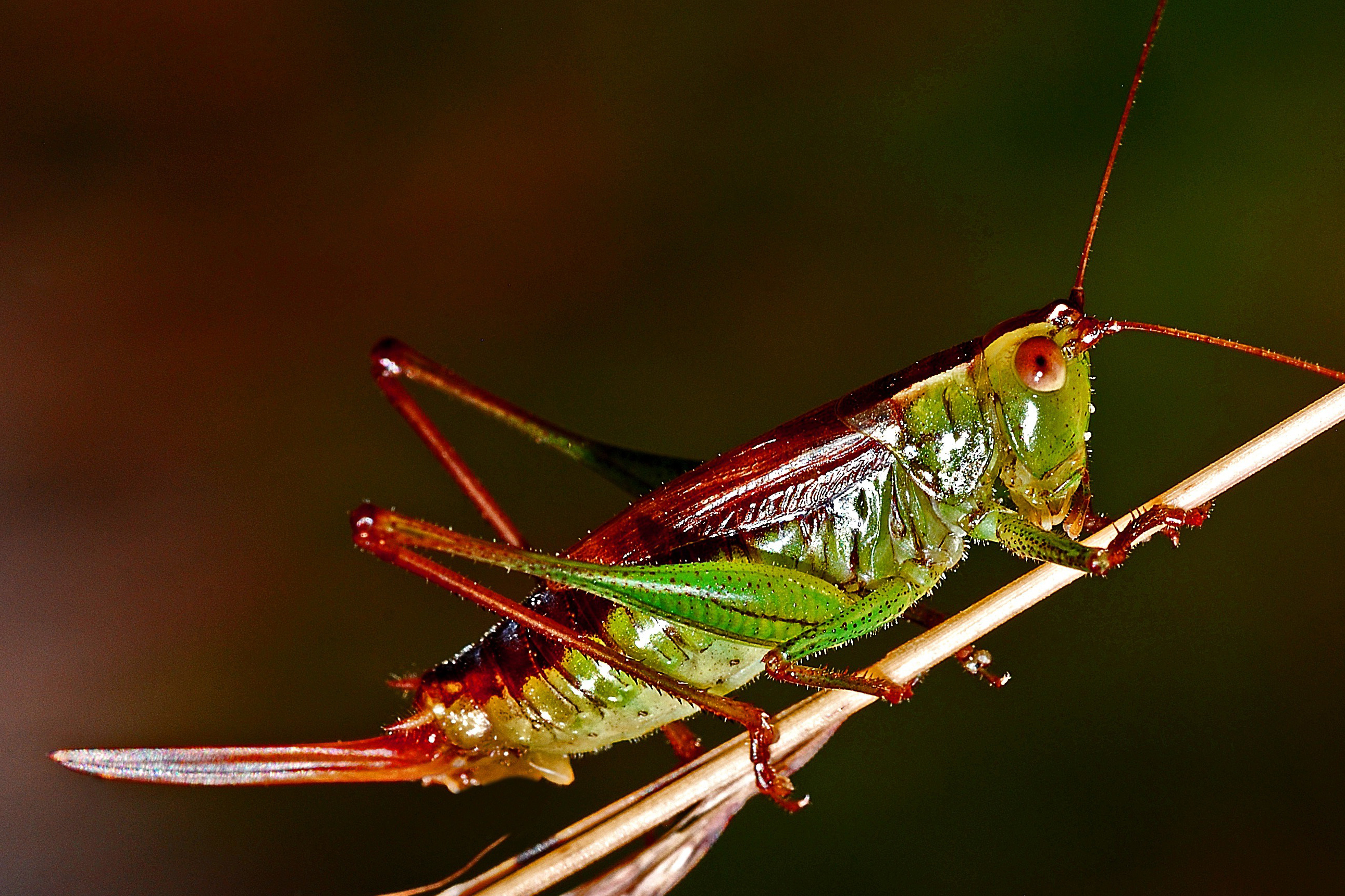 Lobster, insect, lobster, giant, green, green insects