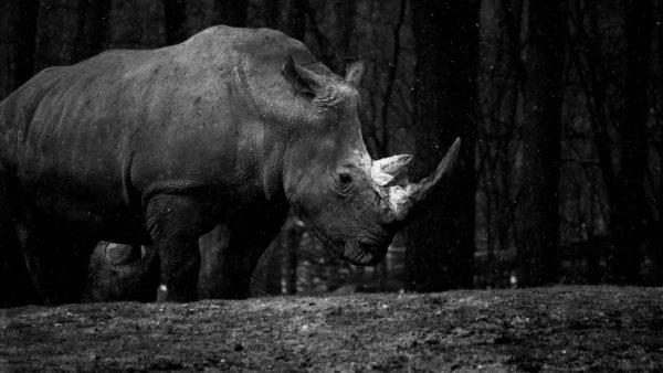 Rhino, rhino photo, black and white, horns, armor, animals, mammals, africa, rhinoceros