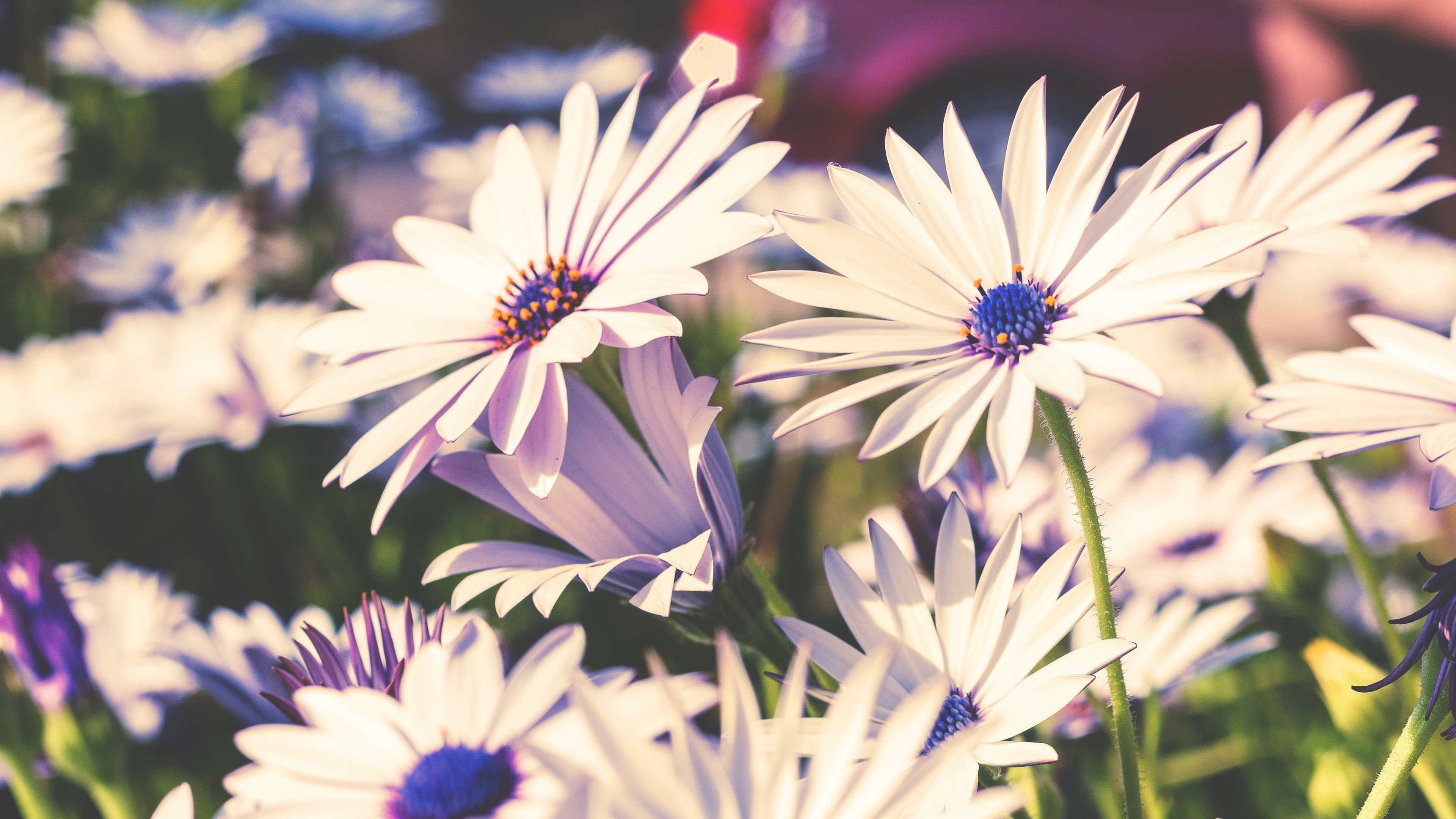 White and purple flowers, flowers, daisies, petals, nature, flower