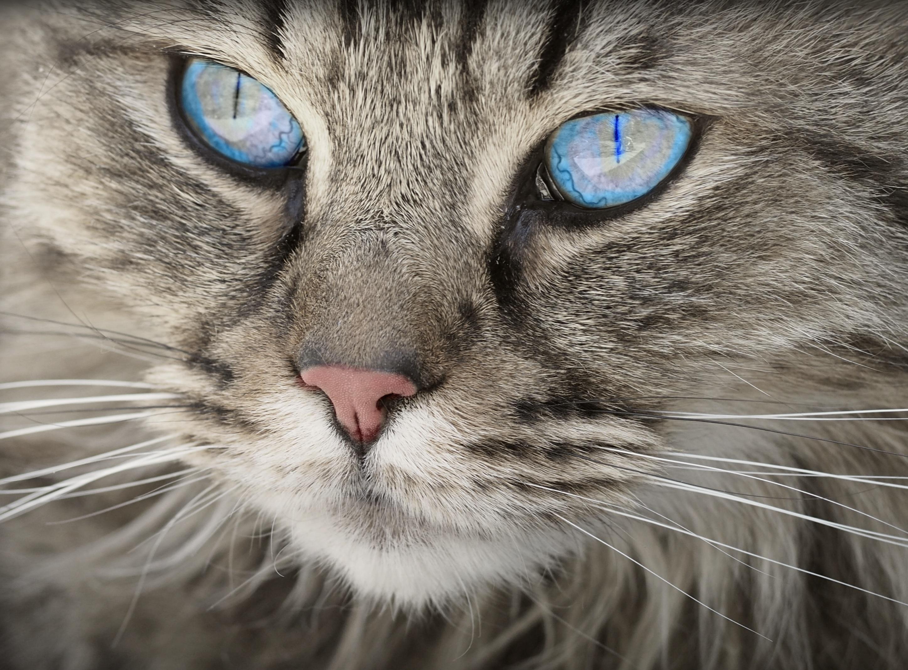 catlike eyes, eyes, animals, cat, blue eyes, eye, look