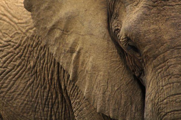 Elephant, brown, animals, elephant, trunk, ears, eye, wrinkles, skin