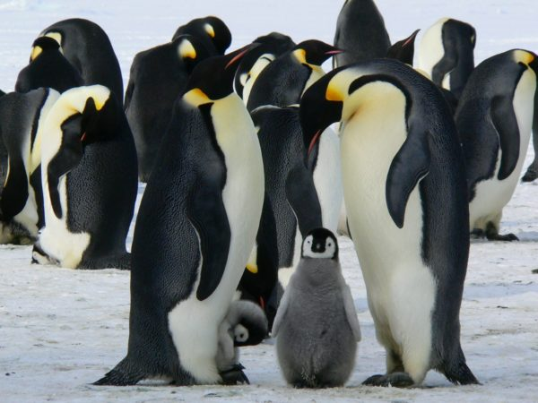 Emperor penguin family, family, animals, penguins, drinks, cold, north pole, penguin, emperor