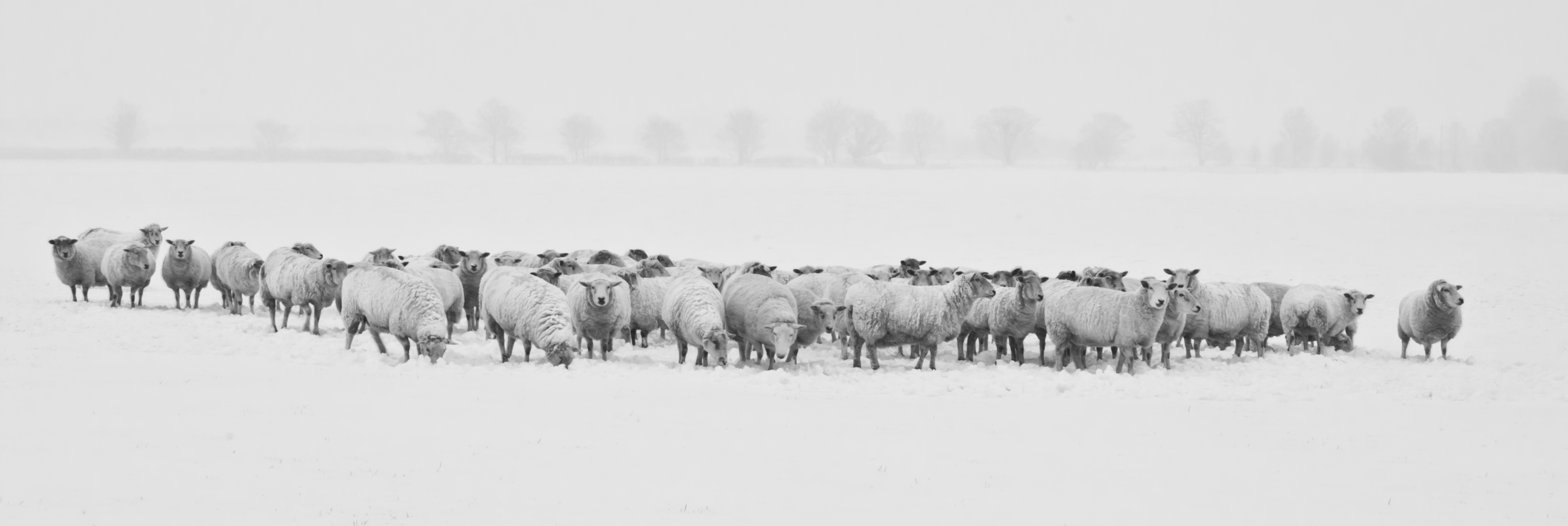 Flock of sheep in the snow, sheep, white and black, white, grazing objejas