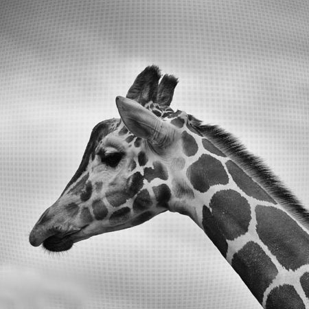 Giraffe in black and white, giraffe, animal, neck, spots, africa