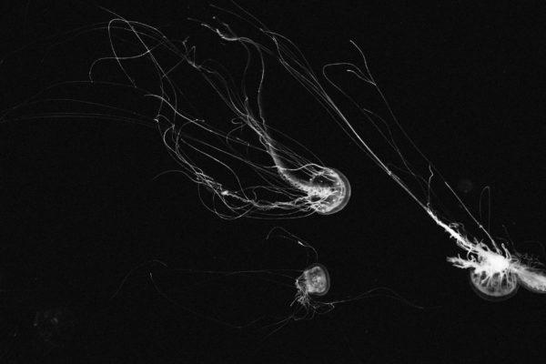 Jellyfish in the deep, dark, jellyfish, animals, deep, sea, ocean, tentacles, white jellyfish, slugs