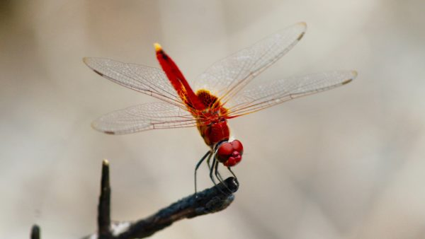 Red Dragonfly, insect, dragonfly, wings, flying, posing