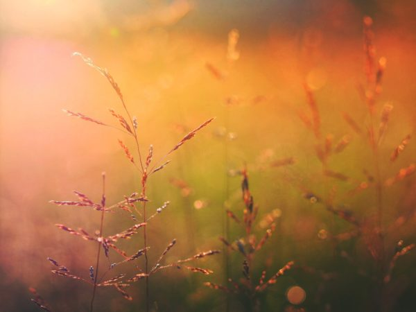 Sunset colors in the field, field, sunset, vegetation, nature, outside