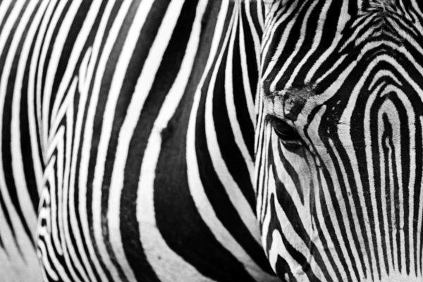 Zebra in the foreground, zebra stripes, black and white, animals, quadruped, zebra