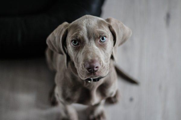 Braco de Weimar, dog, animals, puppy, eyes, blue eyes, Weimaraner, canine look, look dog