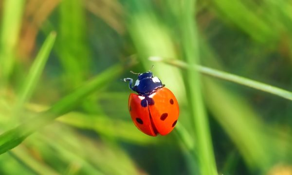 Coccinellidae, ladybug, insect, bug, color, shell, small