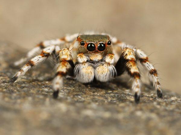Hairy spider, spider, big spider, chick, eyes spider