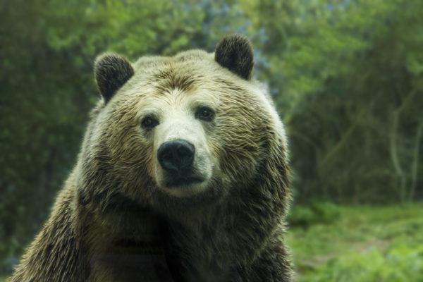 Closeup of grizzly bear, bear, animal hair, big