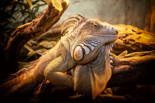 I lizard posing, reptile, animals, cold blood, scales, iguana