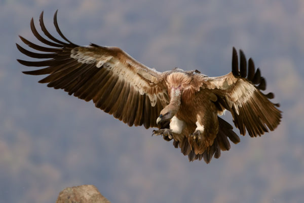 Vulture, bird of prey, vulture, flight, flying, attacking, condor