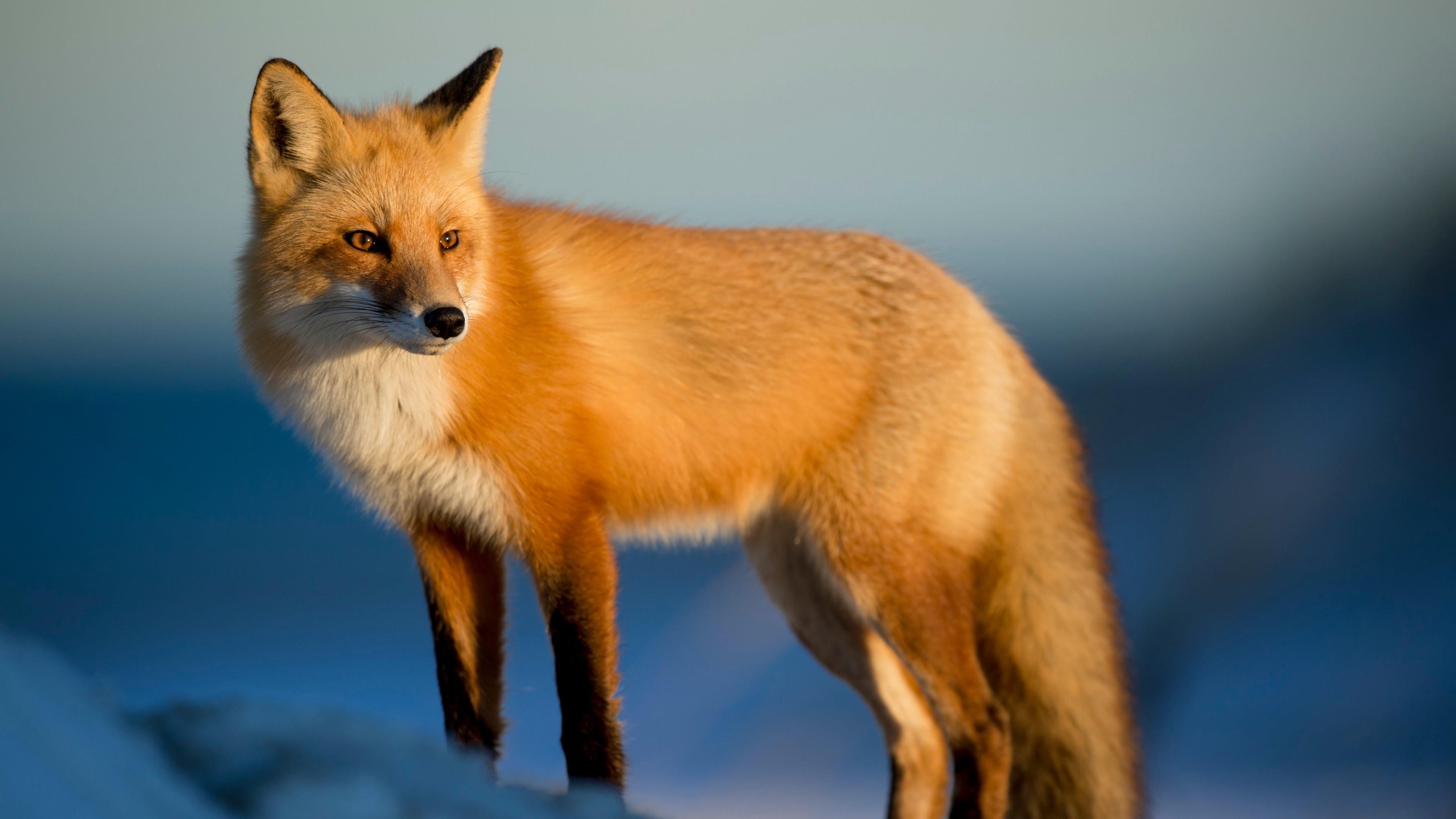 Fox in the snow, fox, golden, fox, animal