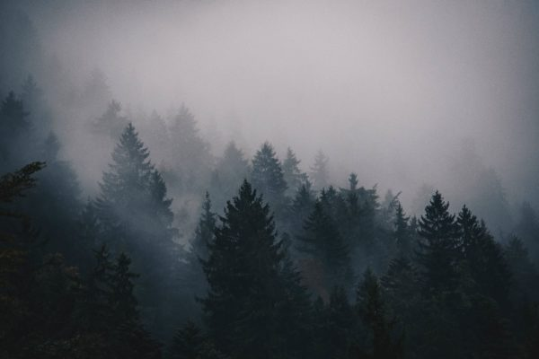 Pines in the mist, pine trees, cold, fog, haze, smoke