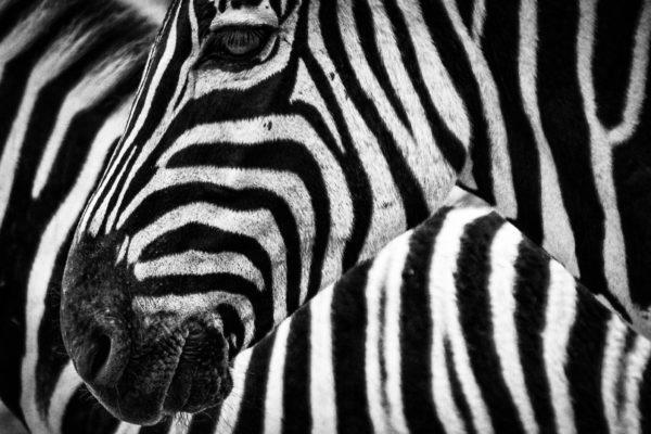 Face of zebra, head, zebra, black and white, africa, animals, quadruped