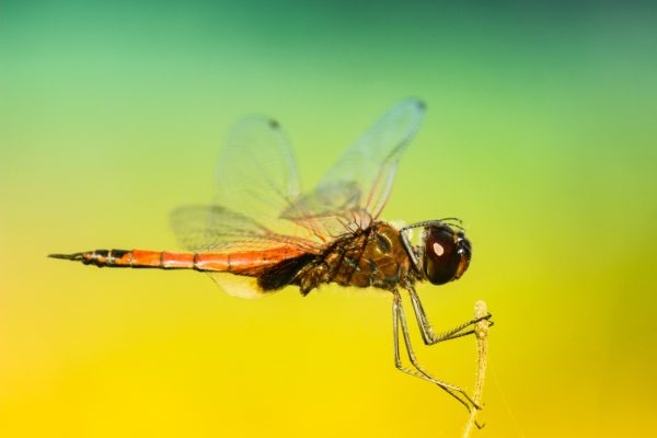 Libelula posing, insects, dragonfly, wings, rest