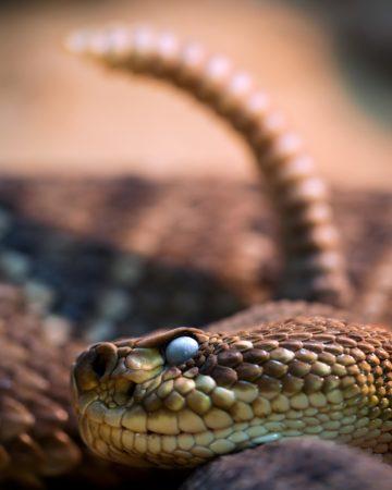 Rattlesnake, snake, animals, scales, snake