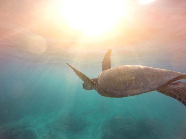 Sea turtle in the ocean, turtle, marine, swimming, sea, ocean, animals