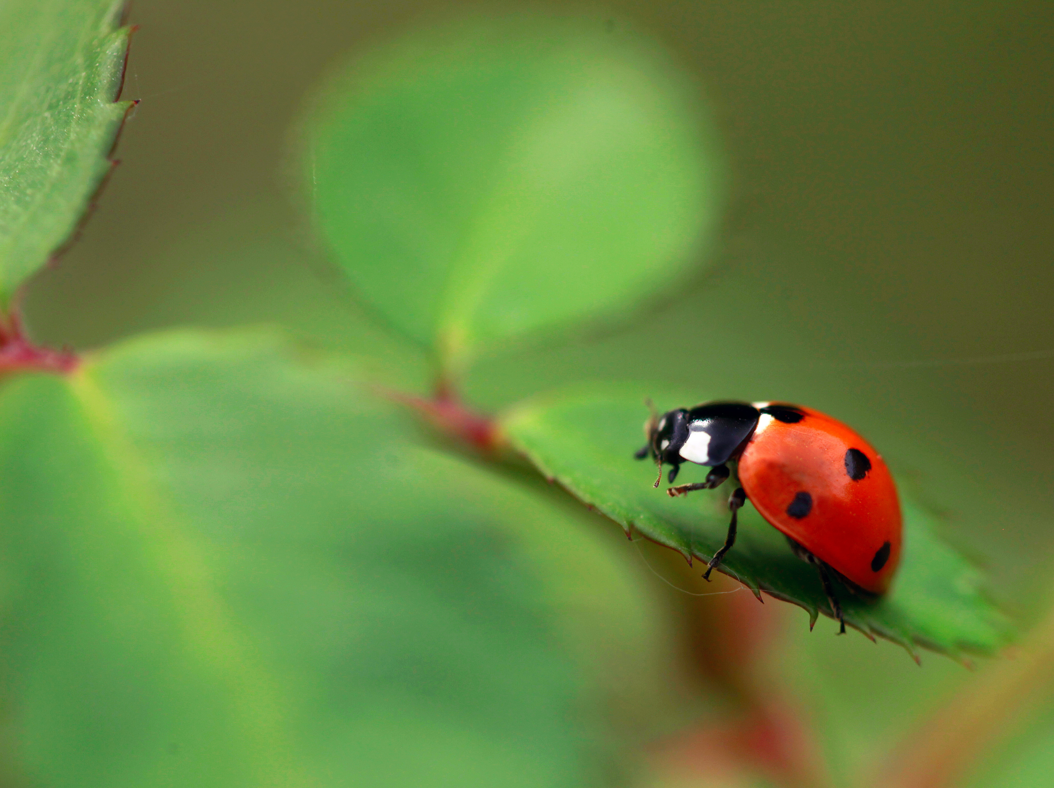 Insect ladybug, insect, plant, shell