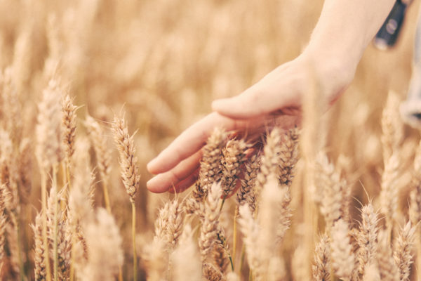 Touching wheat, hands, wheat, field, touch, hand, walk