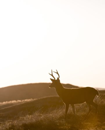 Deer and sunset