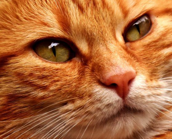 Close-up of yellow cat, cat, yellow, animals, feline