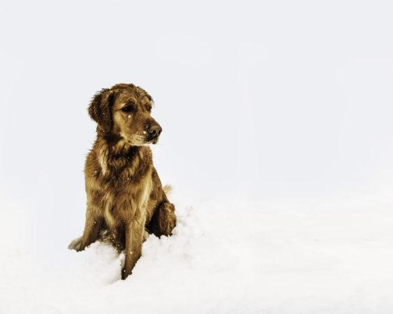 dog in the snow, dog, puppy, labrador, golden, animals
