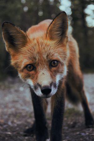 Fox in the foreground, fox, animal, wild, golden, brown